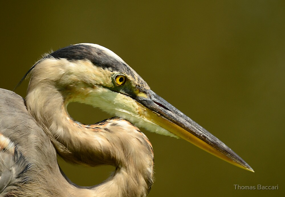 """GIANT """"S"""" WITH A BEEK (Great Blue Heron) by TJ Baccari Photography"""