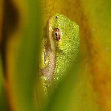 Baby Green Tree Frog by KBaccari