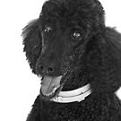 Not A Standard Poodle...I am A Special Poodle! by Heather Friedman
