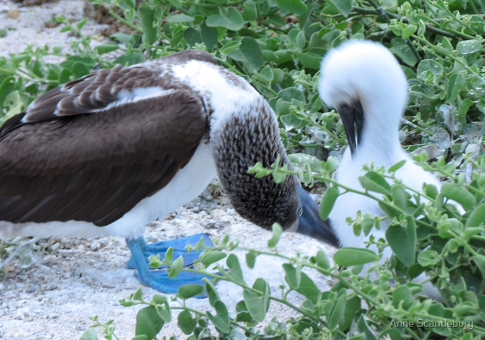 blue footed boobie and chick 2 by Anne Scantlebury