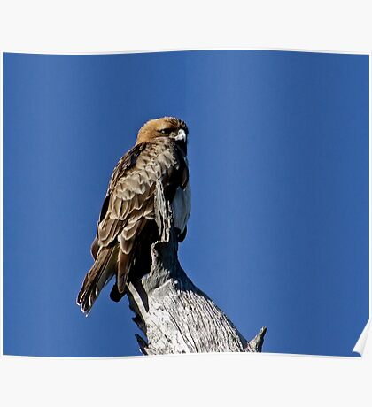Morning Eagle Poster