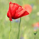 poppy flower no.7 by Falko Follert