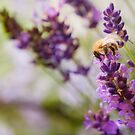 Bee on the Lavender by Maisie Sinclair