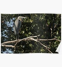 Great Blue Heron on the Wisconsin River Poster