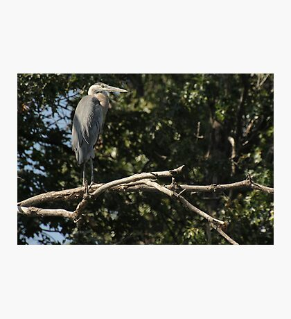 Great Blue Heron on the Wisconsin River Photographic Print