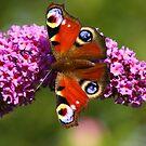 Peacock Butterfly, Darlington  County Durham, England by Ian Alex Blease