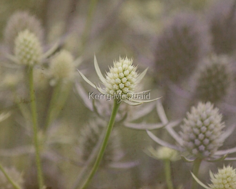 Sea holly eryngium lavender and white thistle like flowers by sea holly eryngium lavender and white thistle like flowers by kerry mcquaid mightylinksfo