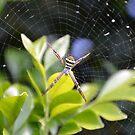 The Garden Spider by TheaShutterbug