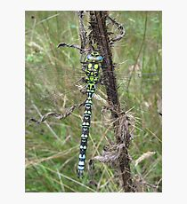 Southern Hawker Dragonfly Photographic Print