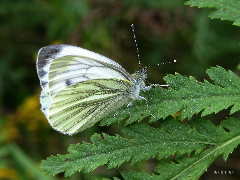 A White Butterfly on a Fern by ienemien