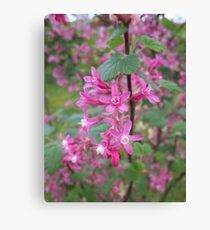 Flowering Black Currant Canvas Print