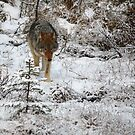 Focused Wolf by James Anderson
