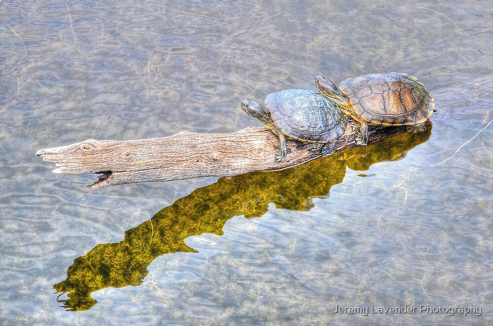 Turtles in Paradise by Jeremy Lavender Photography
