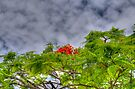 Royal Poinciana Tree (Flamboyant) in Nassau, The Bahamas by Jeremy Lavender Photography