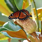 Monarch on Magnolia by Caren