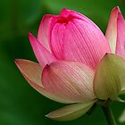 The Lotus Flower by Robyn Carter