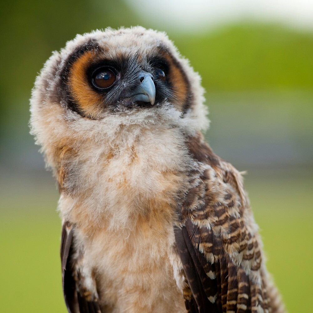 Juvenile Asian Wood Owl by Saddleguy