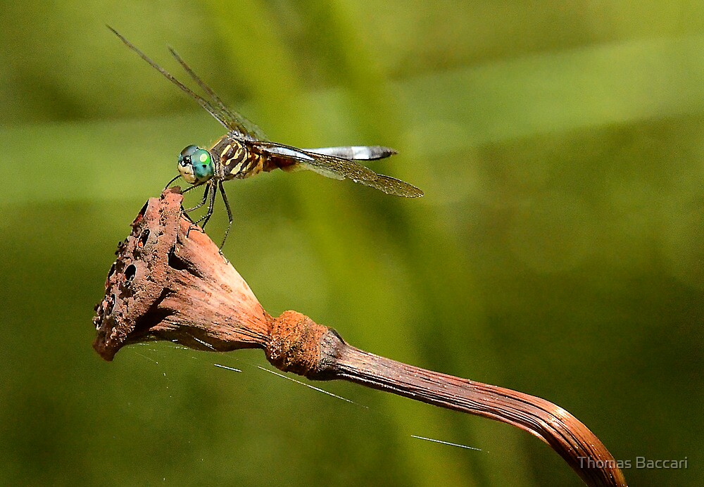 What a neat place to be (dragonfly) by TJ Baccari Photography