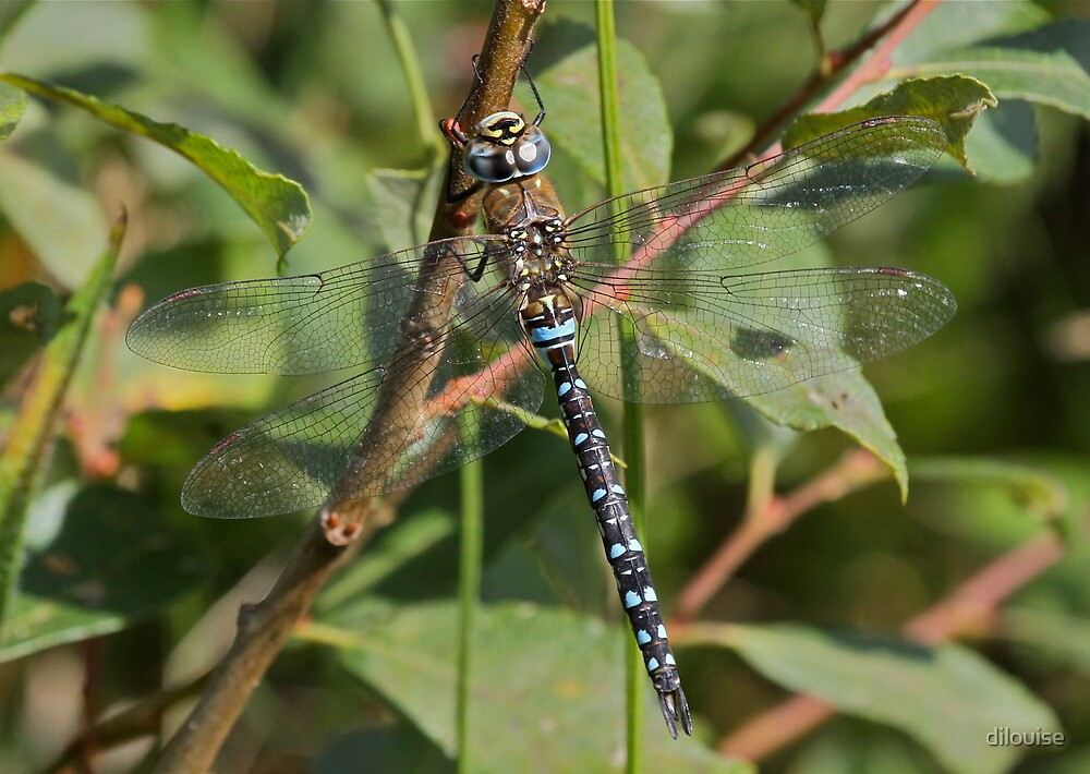 Migrant Hawker by dilouise