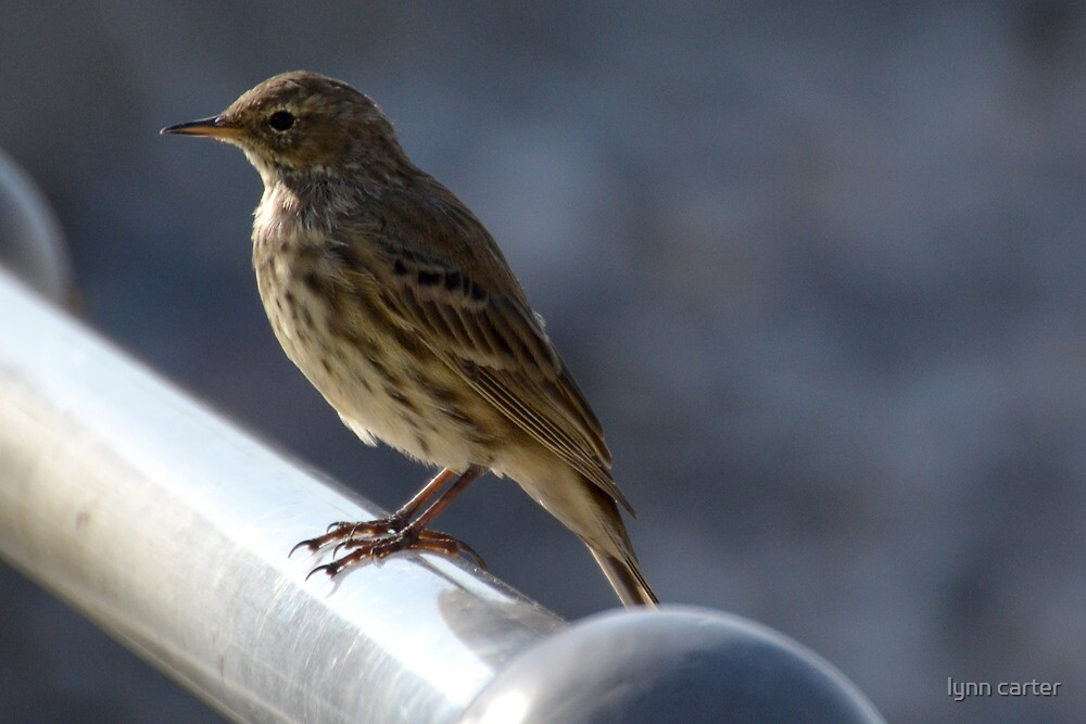Rock Pipit - Lyme Regis, Dorset, UK by lynn carter