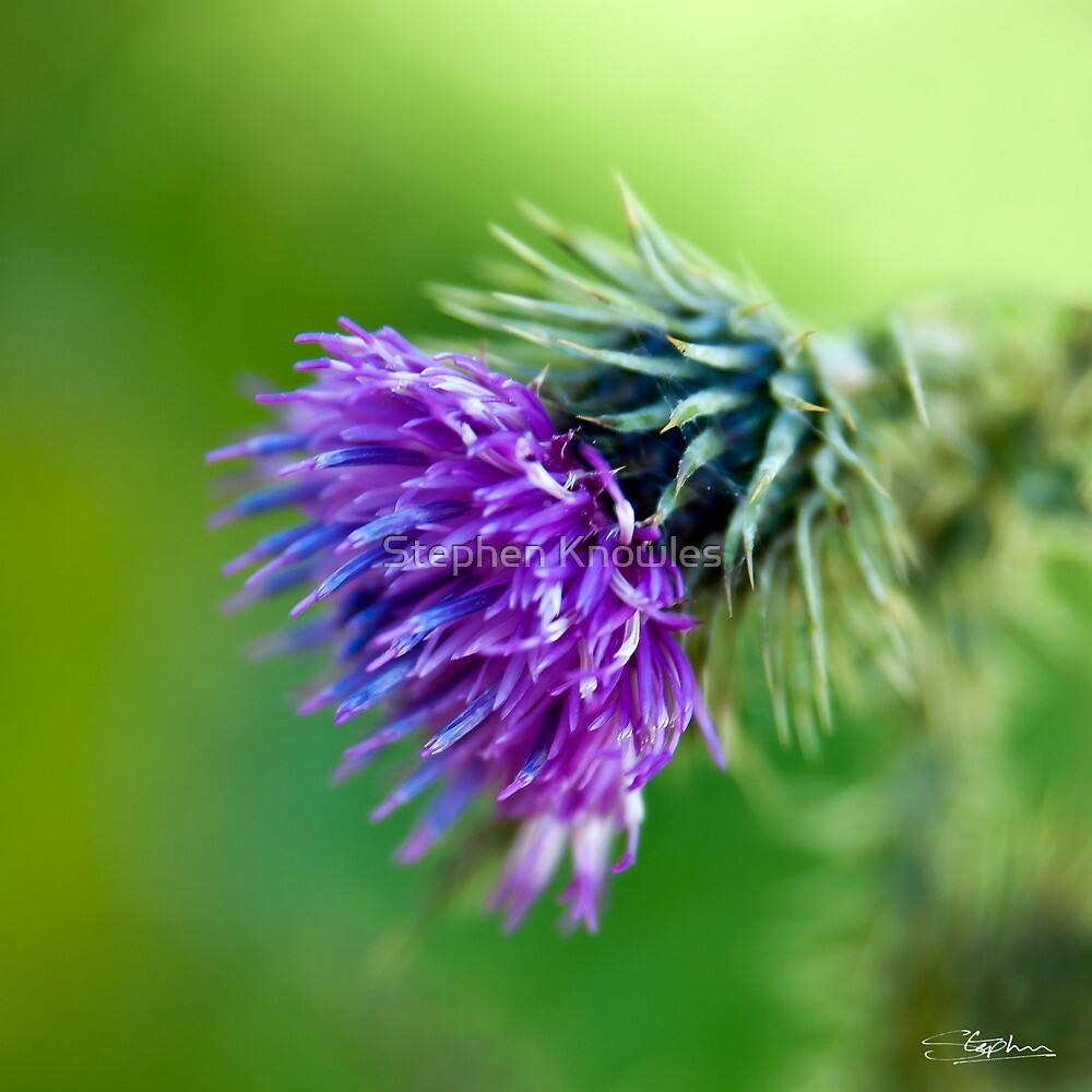 Thistle by Stephen Knowles