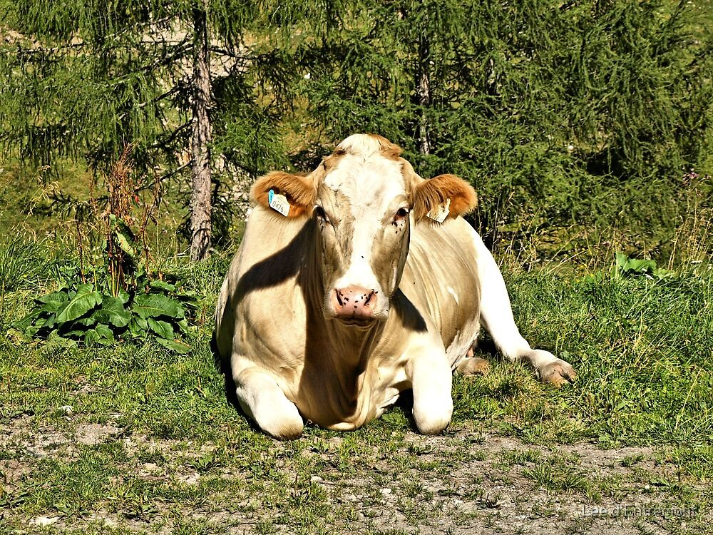 Looking at you, Moooo. by Lee d'Entremont