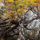 Twisted Fagus by Kylie  Sheahen