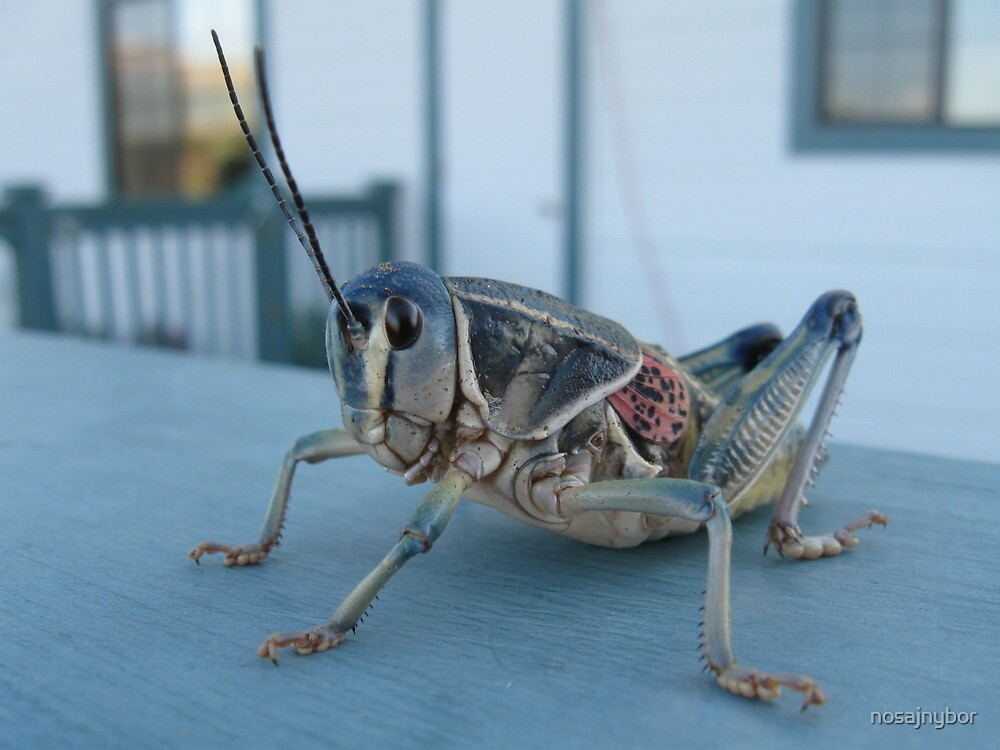 Plains Lubber Grasshopper by nosajnybor