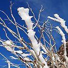 Snow Swept Gums by MissyD