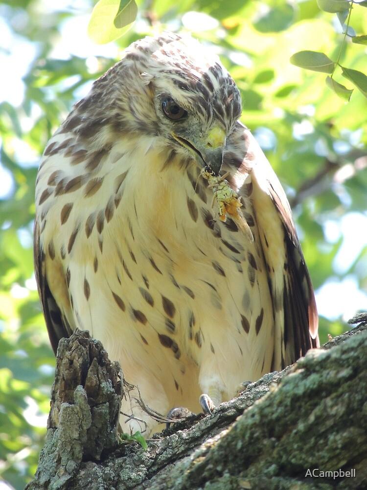 Wild Hawk Portrait by ACampbell