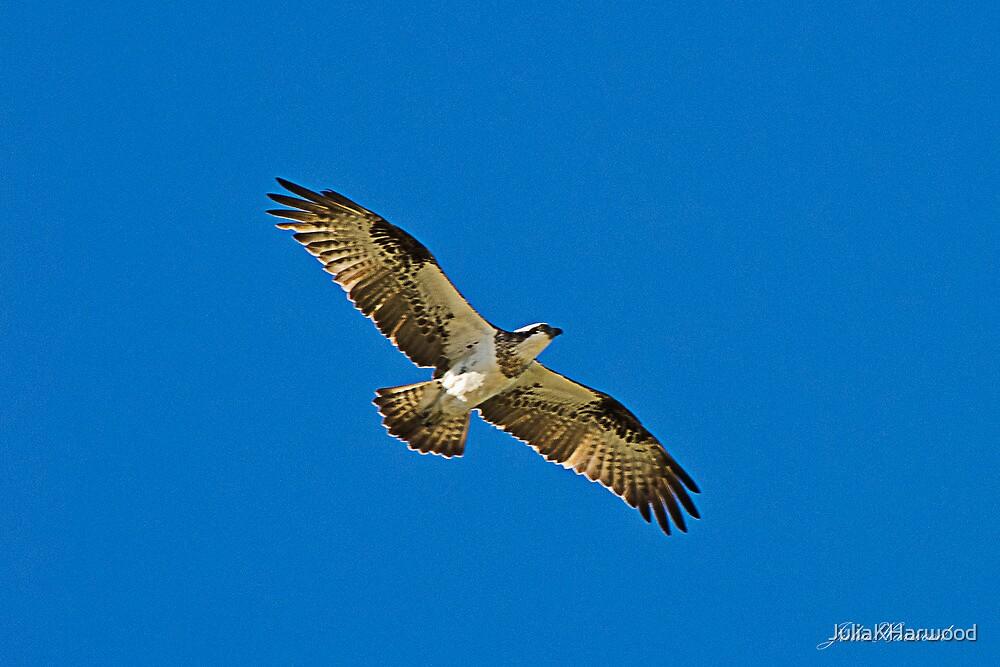 Osprey, Pandion Haliaetus by JuliaKHarwood
