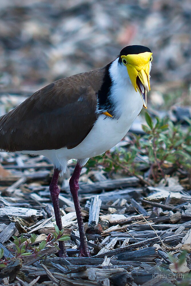 Plover - look out by Keith Smith