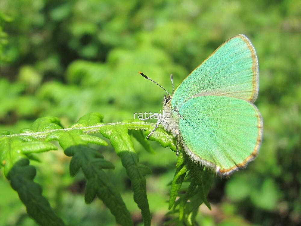 Green Hairstreak Butterfly by rattailz