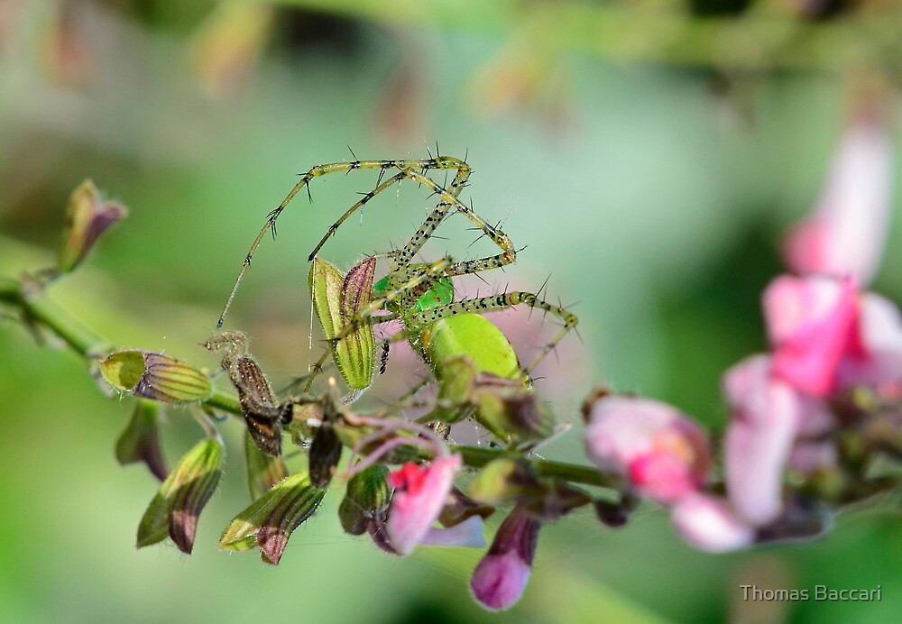 Green Links Spider by TJ Baccari Photography