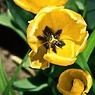 Yellow Tulips by -Nesquik-