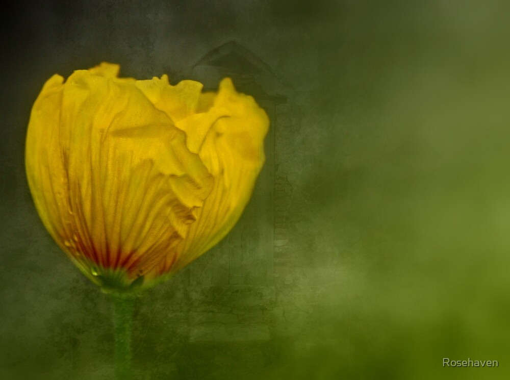"""""""Birth of a Golden Poppy............."""" by Rosehaven"""