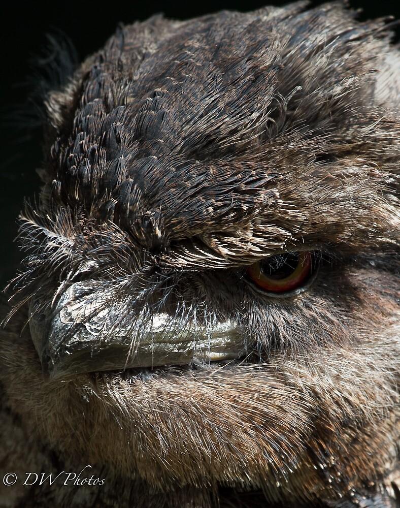 Papuan Frogmouth Portrait by D W