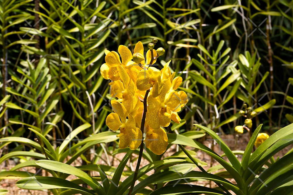 Beautiful yellow flowers inside the National Orchid Garden in Singapore by ashishagarwal74