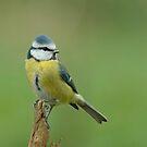 Blue Tit (Parus caeruleus) by Peter Wiggerman