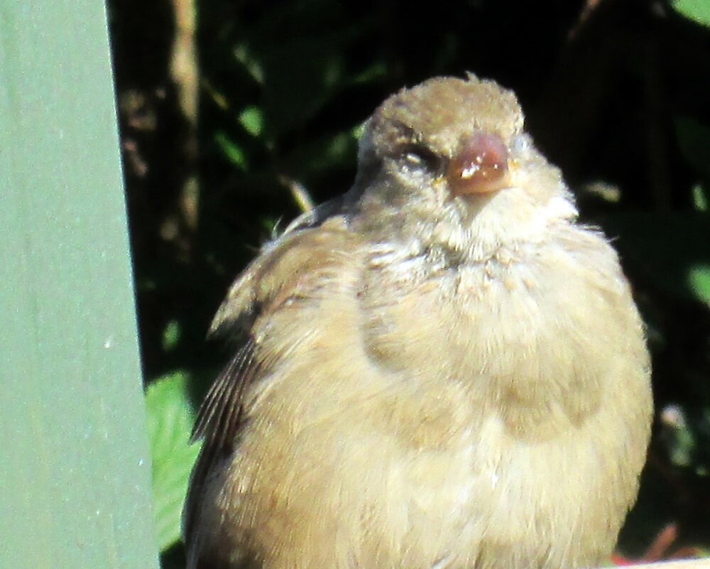 baby sparrow waiting for water by margaret hanks