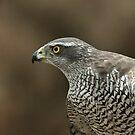 Northern Goshawk (Accipiter gentilis) - III by Peter Wiggerman