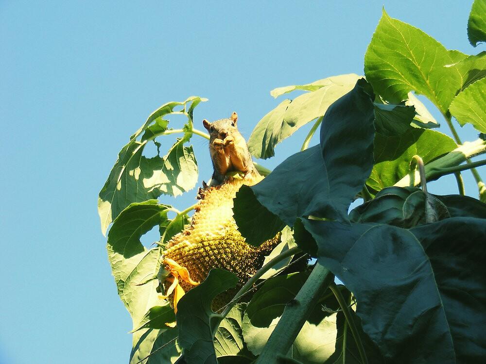 squirrel eating sunflower seeds by haixai