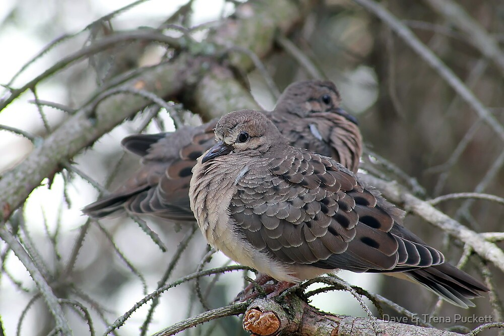 Juvenile Doves by Dave & Trena Puckett