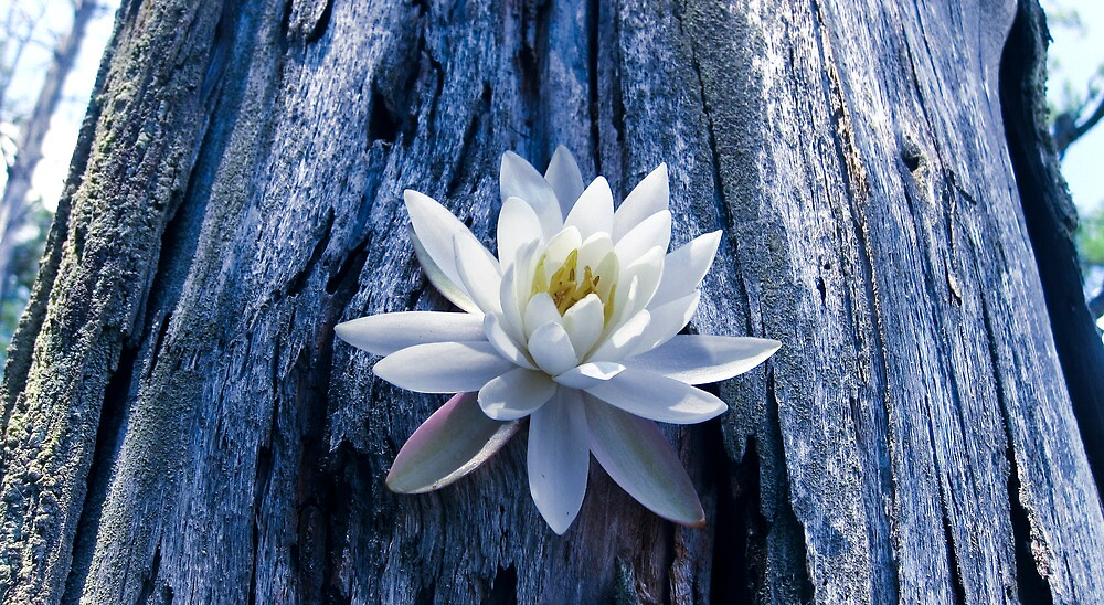 The Lotus by David Hilliard Smith