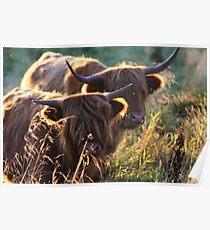Highland Cattle at dusk Poster