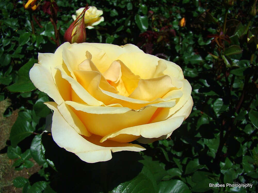 Lovely Rose by Bhabes