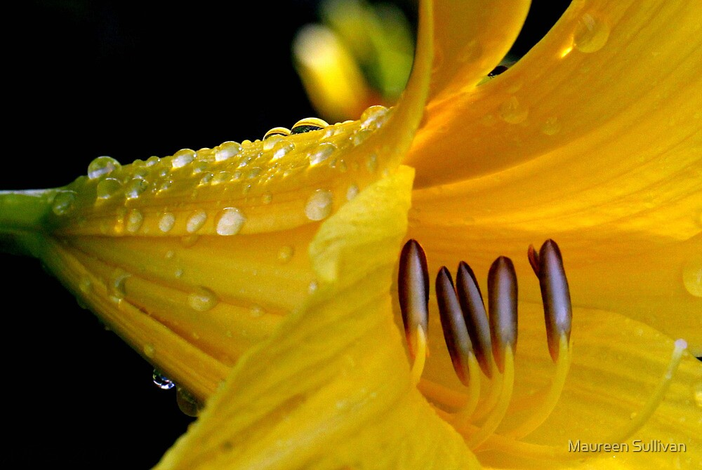 Lily and Water Droplets by Maureen Sullivan