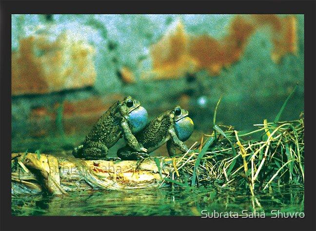 Frog in Rain, Rainy Season by Subrata Saha  Shuvro