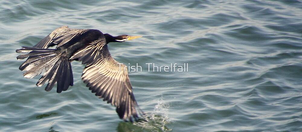 shag in flight by Trish Threlfall