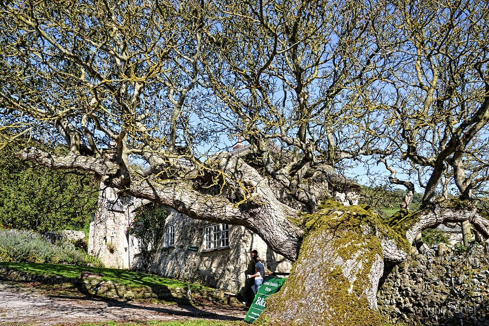 Beautiful Old Tree by lynn carter